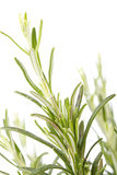 Rosemary plant. On the white stock images