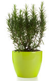 Rosemary plant. In green pot isolated royalty free stock images