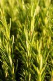 Rosemary plant royalty free stock photos