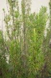 Rosemary Plant fotografia stock