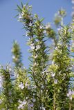 Rosemary plant. A closeup of the stem, leaves and flowers of a rosemary plant royalty free stock image