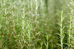 Rosemary Plant Royaltyfri Bild