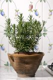 Rosemary plant. In a pot over flowers decorated tiles Royalty Free Stock Image
