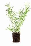 Rosemary Plant. Background close up royalty free stock photography