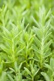 Rosemary Plant Arkivbild