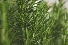 Rosemary Plant Royalty-vrije Stock Afbeelding