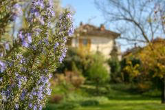 Rosemary plant in bloom. With blurred background a park and an ancient house in Italy stock photos