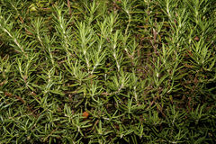 Rosemary plant. Close up of Rosemary plant with branches and leaves filling image Stock Images