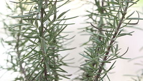 Rosemary plant close up, loopable Royalty Free Stock Photos