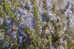 Rosemary plant closeup Stock Images
