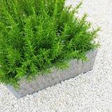 Rosemary plant decorating a garden Royalty Free Stock Photo