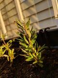 Rosemary Plant em Herb Garden imagem de stock
