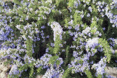 Rosemary. Plant With Flowers  in spring Stock Image