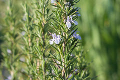 Rosemary Plant. In the Garden royalty free stock photos