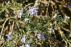 Rosemary plant in a garden. Rosemary plant with purple flowers in a garden during spring royalty free stock photo