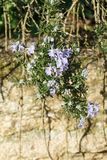 Rosemary plant in a garden. Rosemary plant with purple flowers in a garden during spring royalty free stock image