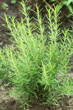 Rosemary plant in a garden Royalty Free Stock Photo