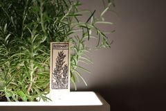 Rosemary Plant Growing In Lighted Flower Pot Royalty Free Stock Photography
