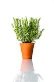Rosemary Plant Growing in vaso delle terraglie isolato su bianco Immagini Stock