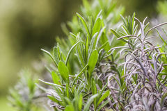 Rosemary plant herb blooming in a garden. Stock Photos