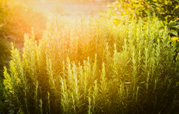 Rosemary plant herb garden on sunny nature background Royalty Free Stock Images