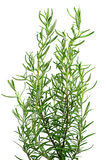 Rosemary plant Royalty Free Stock Image