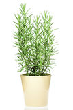 Rosemary plant in a light yellow pot. On white background royalty free stock image