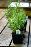 Rosemary Plant. This is a photo of a rosemary plant sitting on deck royalty free stock image
