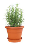 Rosemary plant in plastic pot Stock Images