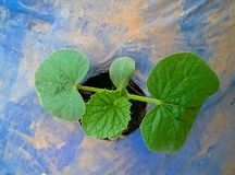 Rosemary plant Royalty Free Stock Photography