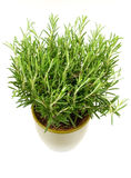 Rosemary plant and pot. Rosemary plant in a green flower pot stock photos