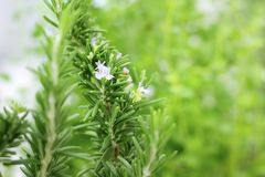 ROSEMARY PLANT WITH FLOWER. ROSEMARY PLANT WITH PURPLE FLOWER royalty free stock images