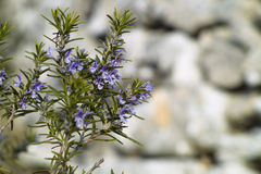 Rosemary plant (Rosmarinus officinalis). Rosemary plant in flowering (Rosmarinus officinalis Royalty Free Stock Photos