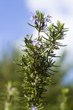 Rosemary plant (Rosmarinus officinalis). Rosemary plant in flowering (Rosmarinus officinalis Stock Photo
