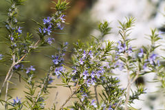 Rosemary plant (Rosmarinus officinalis). Rosemary plant in flowering (Rosmarinus officinalis Stock Image