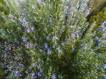 Rosemary plant Rosmarinus officinalis blossoming with fragrant. Blue flowers Stock Photos