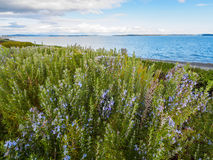 Rosemary plant Rosmarinus officinalis blossoming with fragrant. Blue flowers, growing at the ocean shore Royalty Free Stock Image