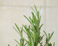Rosemary plant. Rosemary (Rosmarinus officinalis) woody perennial herb plant royalty free stock photo