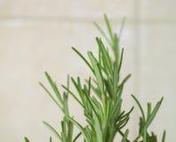 Rosemary plant Royalty Free Stock Photo