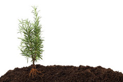 Rosemary plant in soil - visible root. Rosemary plant in soil with visible root royalty free stock image