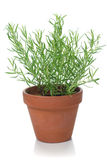 Rosemary plant Stock Photos