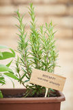 Rosemary plant on urban garden Royalty Free Stock Photography