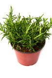 Rosemary plant in vase Royalty Free Stock Image