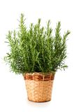 Rosemary plant in vase. Isolated on white background royalty free stock photo