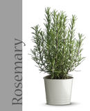 Rosemary plant in vase. Isolated on white background stock images