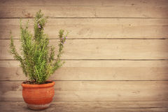 Rosemary plant in a vase and copy space Stock Photography