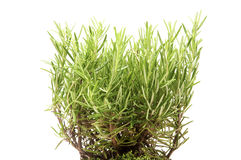 Rosemary plant Stock Photography