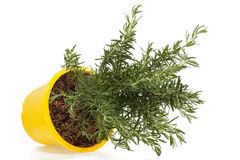 Rosemary plant Royalty Free Stock Photo