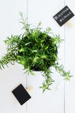 Rosemary in a planter on white board background Royalty Free Stock Photography