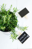 Rosemary in a planter on white board background Royalty Free Stock Photos